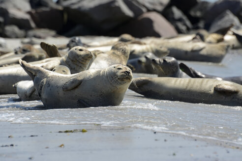 Germany, Schleswig-Holstein, Helgoland, Duene Island, seal colony on beach - BFRF000515