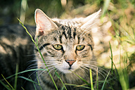 Portrait of tabby cat sitting in the grass - SARF001177