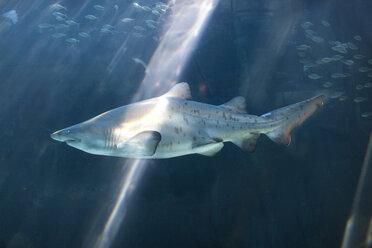 Shark swimming in an aquarium - ZEF001256