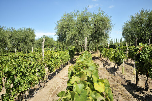 Argentina, Mendoza Province, Maipu, grape variety Malbec vine and olive trees - FLK000498