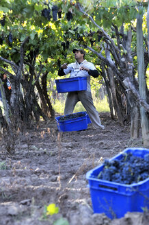 Argentina, Mendoza Province, Maipu, harvest of grape variety Syrah - FLK000514