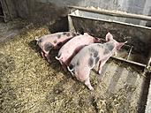 Farrows in pigsty - DRF001107