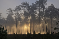 France, Aquitaine, Landes, Pine forest in the morning light - LAF001097