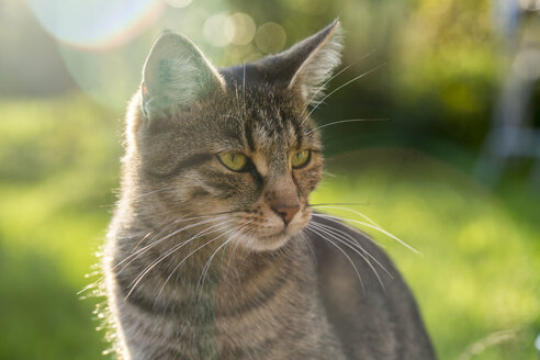Portrait of tabby cat, Felis Silvestris Catus - SARF000889