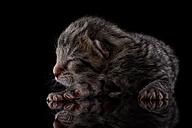 Tabby kitten, Felis Silvestris Catus, sleeping on black background - MJOF000823