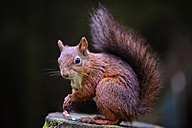 Portrait of Eurasian red squirrel, Sciurus vulgaris - MJOF000829