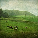 Sheep and horses on pasture - DWIF000255