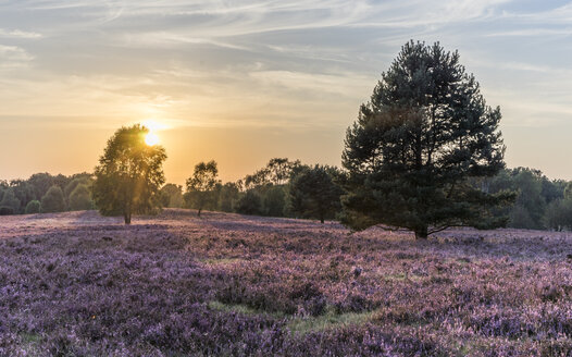 Germany, Lower Saxony, Heath district, Lueneburg Heath in the evening light - PVCF000122