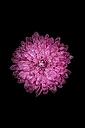 Blossom of pink dahlia, Dahlia, on black background - JPF000015