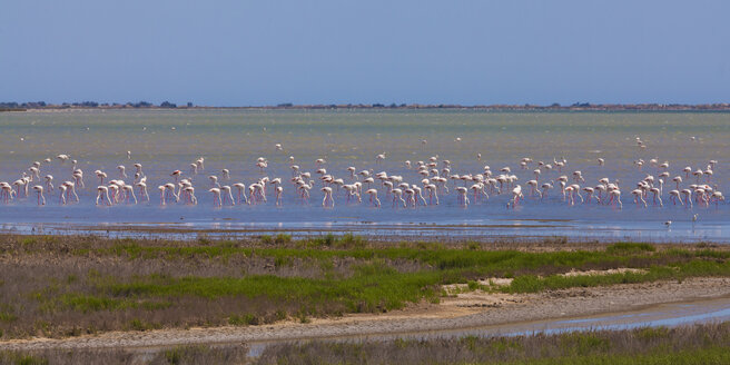 France, Provence, Camargue, flock of flamingos, Phoenicopteridae, at nature reserve - WDF002681