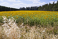 France, Provence, view to sunflower field, Helianthus annuus - WDF002707