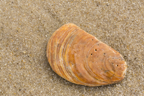 Pacific oyster, Crassostrea gigas, lying on sandy beach, close-up - SRF000800