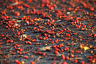 Germany, Rowanberries in the morning light - JTF000581