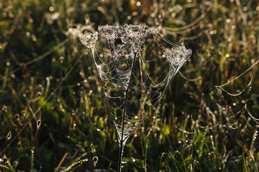 Germany, Spider web on plant in the morning light - JTF000578