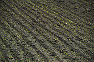 Furrows with sprouts on a field - OPF000021