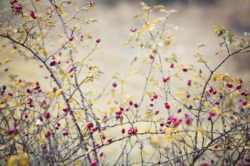Dogrose, Rosa canina, in autumn - CZF000179