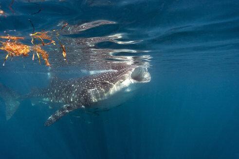 Mexico, Yucatan, Isla Mujeres, Caribbean Sea, Whale shark, Rhincodon typus, eating plankton - GNF001312