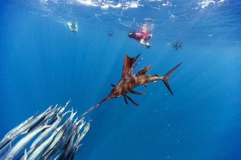 Mexico, Yucatan, Isla Mujeres, Caribbean Sea, Indo-Pacific sailfish, Istiophorus platypterus, hunting sardines, Sardina pilchardus, divers in the background - GNF001304