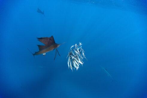 Mexico, Yucatan, Isla Mujeres, Caribbean Sea, Indo-Pacific sailfish, Istiophorus platypterus, hunting sardines, Sardina pilchardus - GNF001300