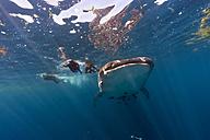 Mexico, Yucatan, Isla Mujeres, Caribbean Sea, Whale shark, Rhincodon typus, and divers - GNF001299