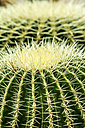 Golden Barrel Cactus, Echinocactus grusonii, close-up - JFEF000485