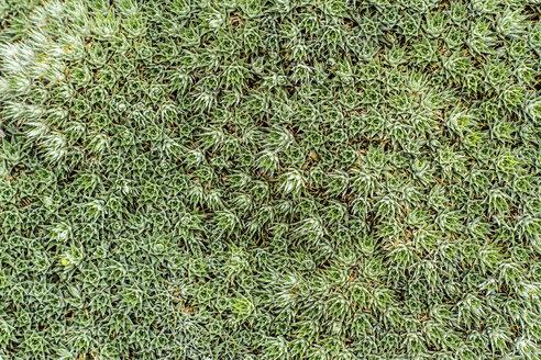 Deuterocohnia brevifolia, close-up - JFEF000489