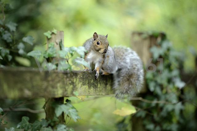 Grey squirrel, Sciurus carolinensis, sitting on wooden slat - MJOF000848