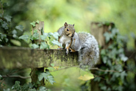 Grey squirrel, Sciurus carolinensis, sitting on wooden slat - MJOF000848