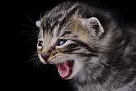 Portrait of screaming tabby kitten, Felis Silvestris Catus, in front of black background - MJOF000849