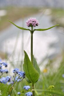 Austria, Salzkammergut, Mountain Valeria, Valeriana montana - FLKF000518