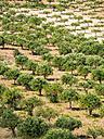 Italy, Sicily, olive tree plantation near Purgatorio - AMF003071