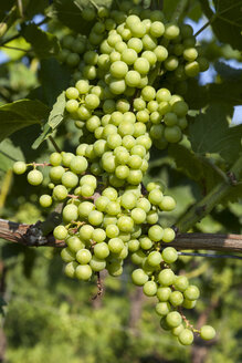 Germany, Baden-Wuerttemberg, Breisach, Grape vine - WIF001132