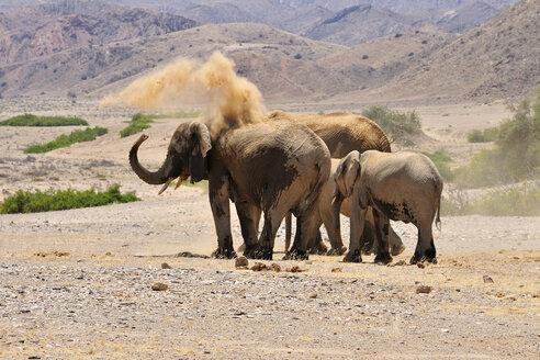 Africa, Kunene, four African elephants,  Loxodonta africana, at Hoanib River - ESF001432