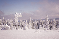 Germany, Baden-Wuerttemberg, Black Forest, snow-covered trees at Schliffkopf - PUF000119