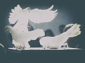 germany, white, pigeons, flying, - DSCF000171