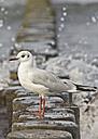 Germany, Baltic Sea, Laughing gull, Chroicocephalus Ridibundus,  on wave-breaker - MELF000041