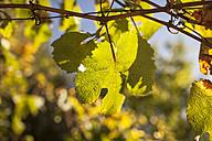 Vine leaf in backlit - SBDF001402