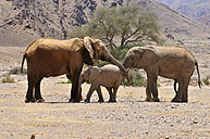 Africa, Namibia, Kaokoland, cow, calf and young bull of African elephants, Loxodonta africana, at Hoanib River - ESF001437