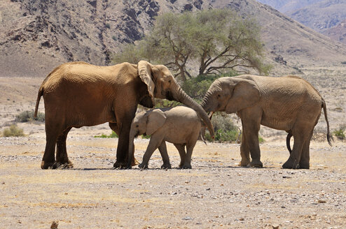 Africa, Namibia, Kaokoland, cow, calf and young bull of African elephants, Loxodonta africana, at Hoanib River - ESF001437