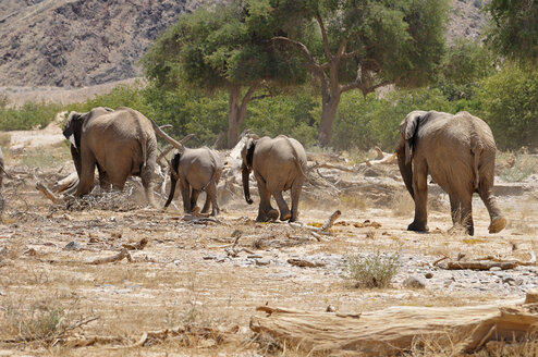 Africa, Namibia, Kaokoland, group of four African elephants, Loxodonta africana, at Hoanib River - ESF001439