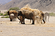 Africa, Namibia, Kaokoland, group of African elephants, Loxodonta africana, at Hoanib River - ESF001447