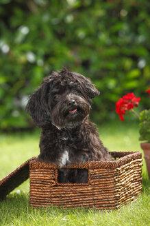 Bolonka Zwetna sitting in a basket on a meadow - HTF000506