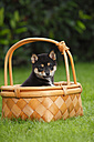 Shiba Inu puppy sitting in a basket on a meadow - HTF000514