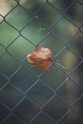 Autumn leaf at wire fence - JPF000019