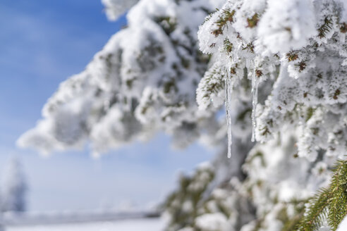 Snow-covered twig of fir tree with icicle - PUF000185