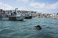 UK, England, Cornwall, St Ives, boats and seal at the coast - PAF001058
