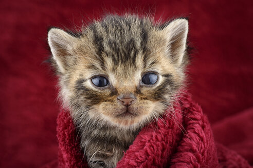 Portrait of tabby kitten, Felis Silvestris Catus, in front of red background - MJOF000867
