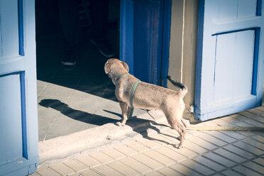 Little dog watching inside a house - CM000197