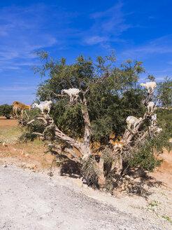 Morocco, Marrakech-Tensift-Al Haouz,  Essaouira, Goats climbing on argan tree, eating argan nuts - AMF003200