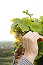 Germany, Bavaria, Volkach, winegrower cutting grapes - FKF000830
